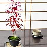 盆栽妙 山もみじの盆栽 藤久作手造り鉢 樹高25cm×幅10cm