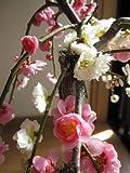 梅 紅白に咲く おめでたい しだれ梅 ピンクと白の 八重咲きの 梅が かわいい シダレ梅です。
