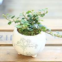 観葉植物:アイビー ヘデラ ダックフット*アヒルの足形 モダン柄鉢 苔付き