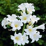 ベラドンナリリー:ホワイト1球入り[秋咲きアマリリス][夏植え球根] ノーブランド品