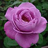 バラ苗 ブルーリバー 国産大苗6号スリット鉢 ハイブリッドティー(HT) 四季咲き大輪 紫系