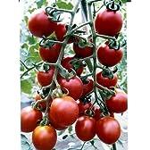 ピッコラルージュ パイオニアエコサイエンスのミニトマト品種です