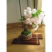 お花見 桜 手の中で見る 桜盆栽