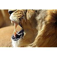 Lion Fangs Animal - #27983 - キャンバス印刷アートポスター 写真 部屋インテリア絵画 ポスター 90cmx60cm