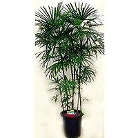 プランツネット 観葉植物 棕櫚竹(シュロチク) 10号 K0100256