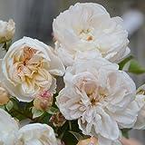 バラ苗 アリアドネ 国産新苗4号鉢 四季咲き 中輪 白系 ロサ オリエンティス