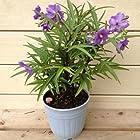鉢花:紫宝華(シホウカ/シホウゲ)*開花期終了。この後、結実します。