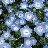 ネモフィラ:インシグニスブルー[青花]3~3.5号ポット4株セット
