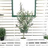 オリーブの木 観葉植物 インテリア ホワイトセラアート鉢 8号 大型 中型