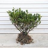 庭木:サツキ(さつき)(大盃) H:30cm