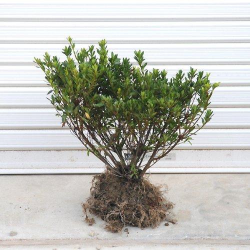 庭木:サツキ(さつき)(大盃) H:30cm...