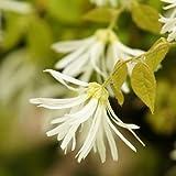 トキワマンサク 樹高1.0~1.2m前後 赤花・白花 2本セット