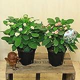多肉植物:大輪花キリン シャインキッス*ホワイト ユーフォルビア ハナキリン5号 花麒麟
