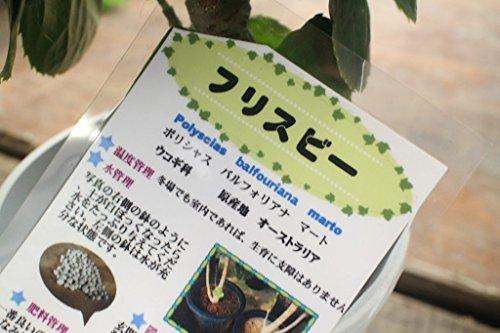 【観葉鉢】 ポリシャス・バルフォリアナ(フリスビー) 5寸鉢  【送料込】