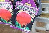 【果樹苗】【接木】 大実ザクロ ワンダフル 1年生 【送料込価格】