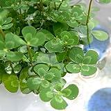 (ビオトープ)水辺植物 メダカの鉢にも入れられる水辺植物! ウォータークローバー ムチカ(1ポット分) 抽水~浮葉植物 (休眠株)