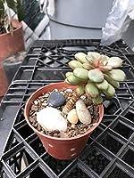 発芽SEEDS:3.5インチポットに示すエケベリア属Graptoveria Amethorum多肉植物シングルヘッド