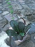常緑 多年草 サルビア リラータ(パープルボルケイノ)2,5号~3号ポット苗