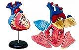 青島文化教材社 スカイネット 立体パズル 4D VISION 人体解剖 No.10 心臓解剖モデル