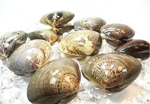 殻付 はまぐり L サイズ 500g 約10個から15個 【 蛤 / ハマグリ 】冷凍品・殻付はまぐり・