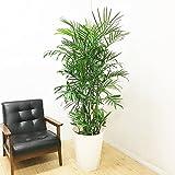 チャメドレア セフリジー 観葉植物 10号 大鉢 観葉植物 インテリア 大型 オシャレ 大きい 尺鉢 大サイズ 本物