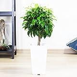 ベンジャミン ゴムの木 受け皿付き スクエア鉢 観葉植物 インテリア ミニ 中型