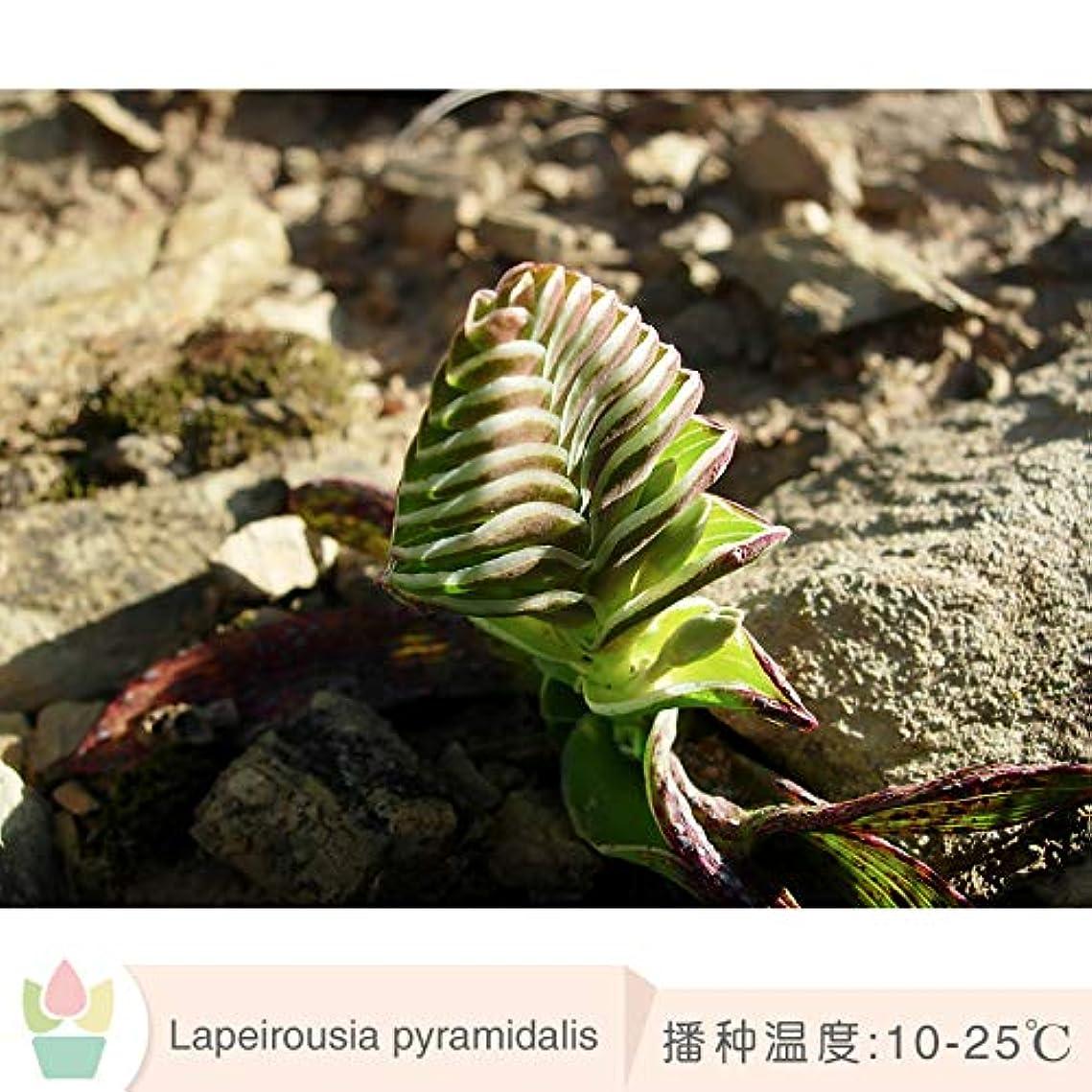 不平を言う拍手海岸ラペロスア ピララダリス 種子ピラミッド ラップ 疎香 南アフリカ 希少球根 5粒