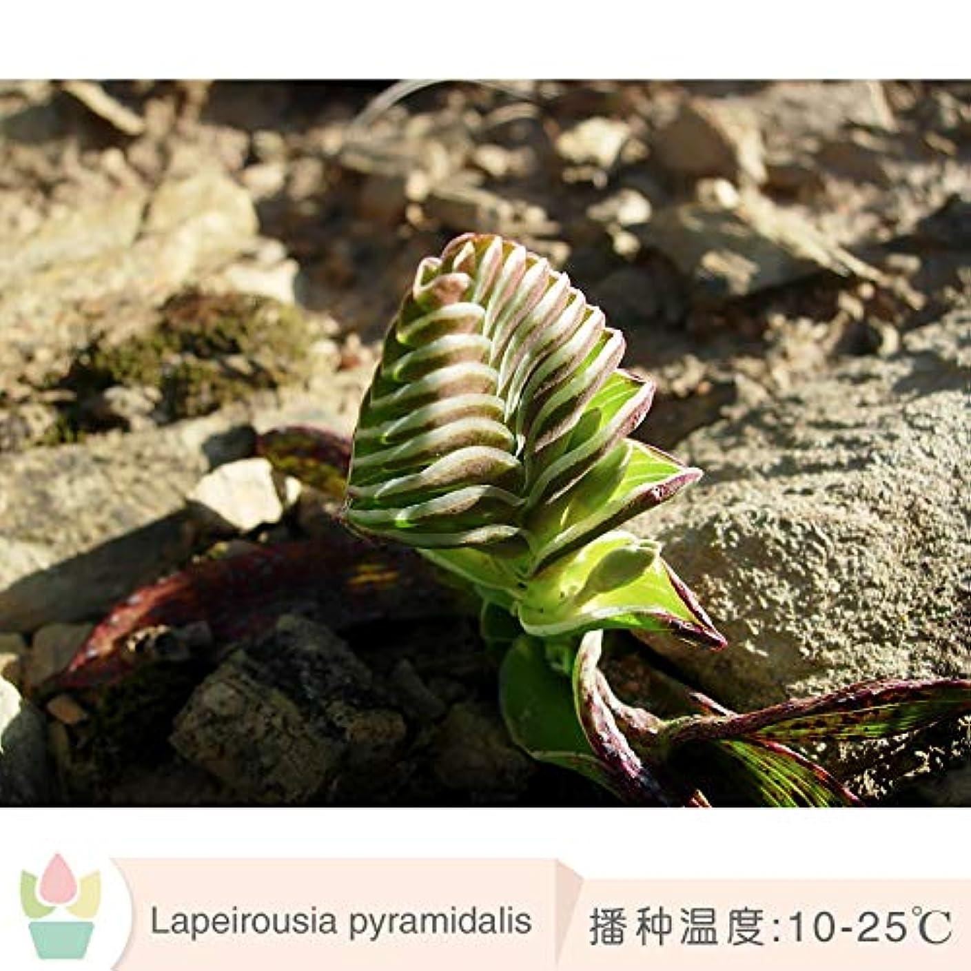 光景テスピアン反応するラペロスア ピララダリス 種子ピラミッド ラップ 疎香 南アフリカ 希少球根 5粒