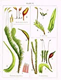 Stark's British Mosses – DICRANUM SCOPARIUM – Chromolithograph – 1860