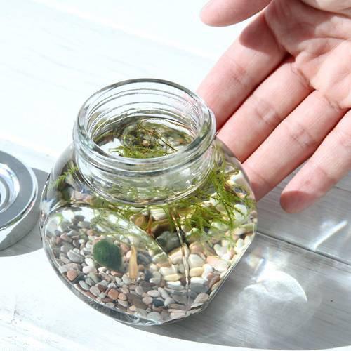 (熱帯魚 水草)私の小さなアクアリウム ゴールデンアカヒレボトルセット ?マリモとウィローモス?(1セット)説明書付 本州・四国限定[生体]
