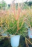ミルクブッシュ ファイヤースティック 観葉植物