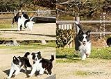 ボーダー・コリーと暮らす―決定版 愛犬の飼い方・育て方マニュアル (愛犬の飼い方・育て方マニュアル 決定版) 画像