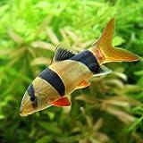 (熱帯魚)クラウンローチ MSサイズ(1匹) [生体]