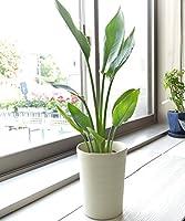 相武ガーデン 観葉植物 ストレリチア レギネ 6寸