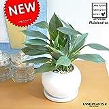 LAND PLANTS フィロデンドロン シルバーメタル 白丸陶器鉢に植えた Philodendron
