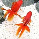 (国産金魚)飯田琉金(1匹)