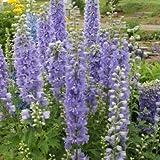 予約販売3月以降発送 宿根草の咲く庭 デルフィニウム ラベンダー 大苗12cmポット