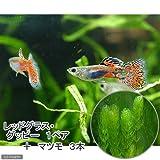 (熱帯魚)レッドグラス・グッピー(国産グッピー)(1ペア)+マツモ(3本) 本州・四国限定[生体]
