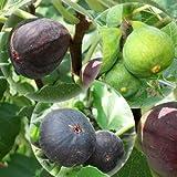 イチジク 苗木 ビオレーソリエス ヌアールドガロン ザ・キング最良品種3本セット苗 いちじく苗