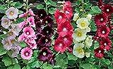 発芽SEEDS:タチアオイの花の種 - SPRINGのMIX - CLASSIC - BULK