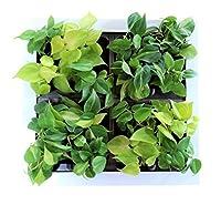 土を使わない壁掛け観葉植物 ミドリエデザイン最大サイズ GREETホワイト19C1