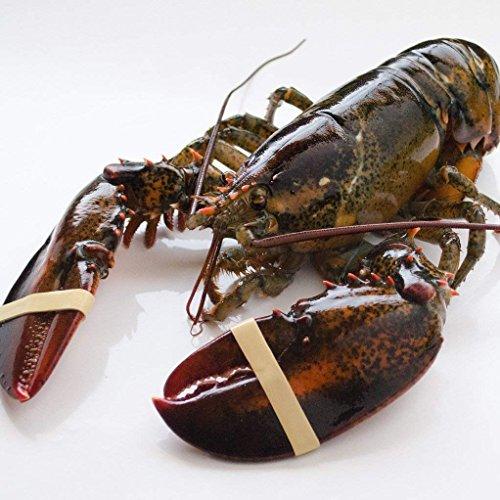 天然活オマール海老 500g 5尾 カナダ産 送料無料 活物専門商社【魚活】