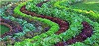 新しい新鮮な種子10個/ロットイタリアのレタス種子良い味、育てるのが簡単、素晴らしいサラダチョイス、Diyホーム種子野菜、#3Liae