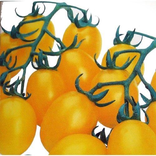 ミニトマト 種 【 ミニトマトイエローピコ GF 】 種子 小袋