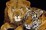 ライオンとタイガー 自然動物の写真 アートキャンバス印刷ポスター(70x105cm)