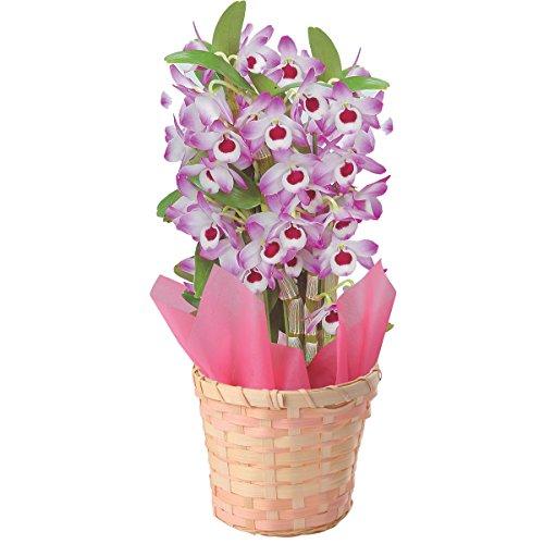 デンドロビューム 鉢植 フラワーギフト 花