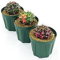 (株)赤塚植物園 ① ペッタムシィー(Petchtamsee)農場のギムノカリキウム プラスティック鉢仕様
