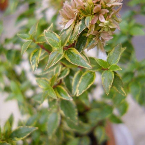 アベリア:レディーリバティー5号ポット[明るい覆輪葉が美しい常緑低木]