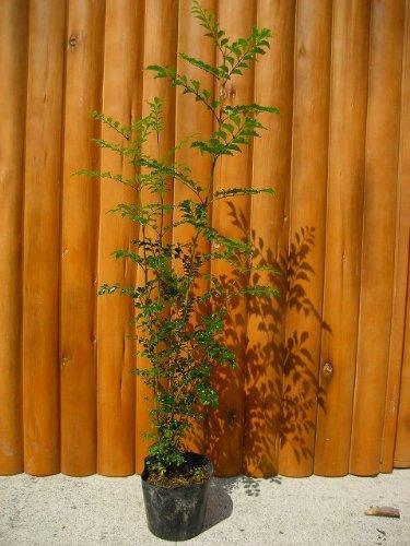 大人気!シマトネリコ株立ち!!樹高80cm前後 ポット苗 常緑☆シンボルツリーに最適♪