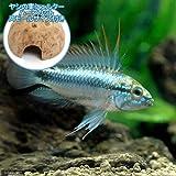 charm(チャーム) (熱帯魚) アピストグラマ・トリファスキアータ(1ペア)+ ココナッツシェルター(1個) 【生体】